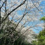 近くの桜見て来ました